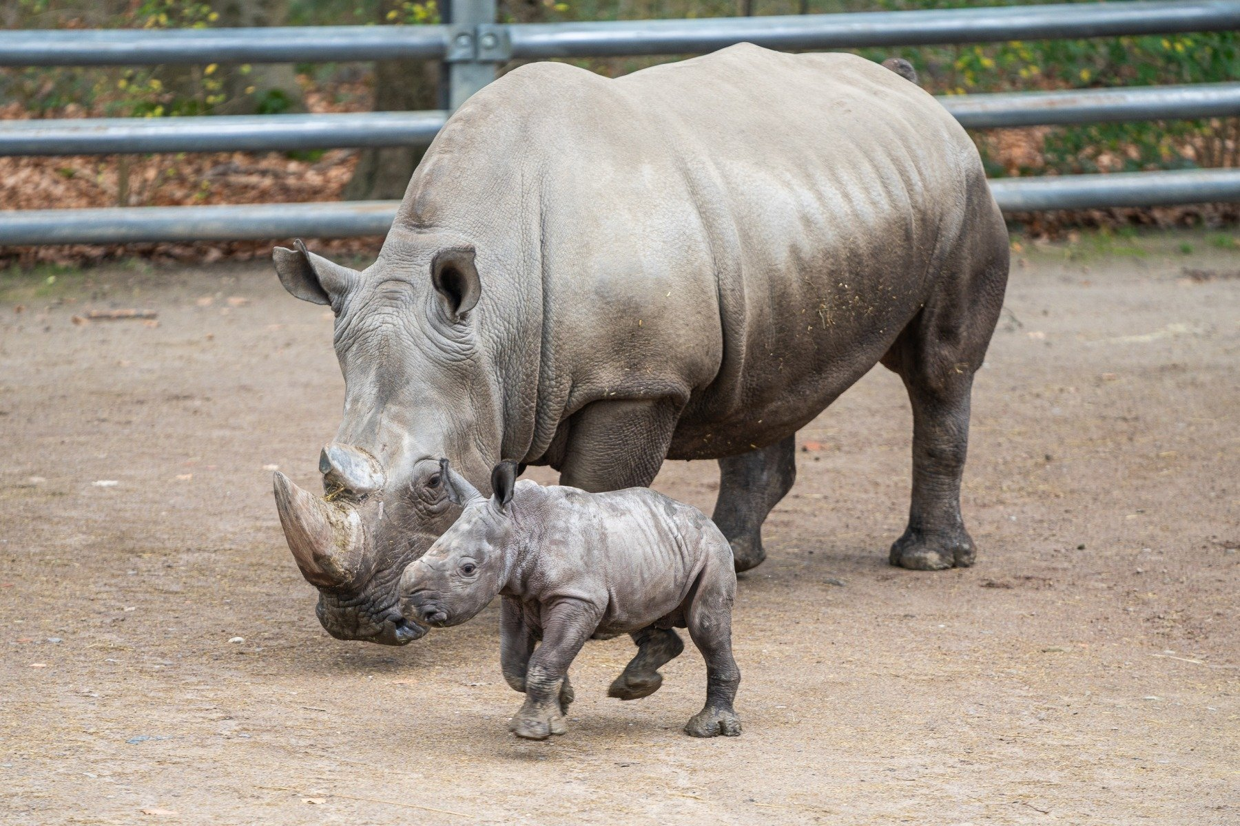 Breitmaulnashornkuh »Shakina« mit ihrem Sohn »Willi« im Dortmunder Zoo. (Fotos: IN-Stadtmagazine)