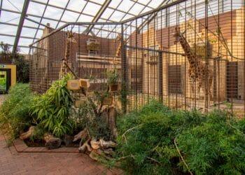 Penda (rechts) mit Maoli und Zikomo im Dortmunder Giraffen-Haus. (Fotos: Zoo Dortmund)