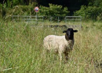 Auch Schwarzkopfschafe gehören zu den Rassen, die nun im Rahmen eines Pilotprojektes entlang der A40 an den Entwässerungsanlagen den Rasen kurz halten. (Foto: Autobahn Westfalen)