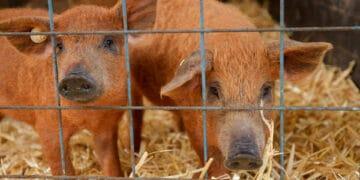 Süße Wollschweinferkel sind auch mit dabei! (Foto: Wir in Dortmund)