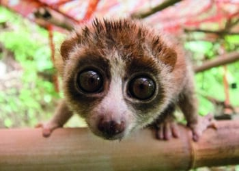 Junger Plumplori in der Rehabilitationsstation auf Sumatra. (Fotos: Zoo Dortmund)
